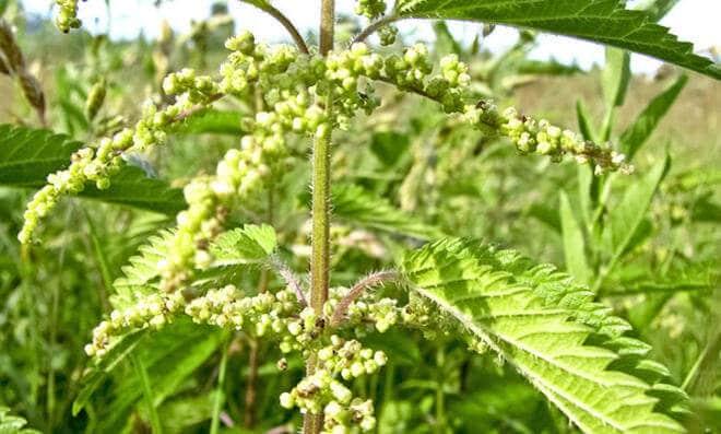 Prikaz ambrozije u cvatu
